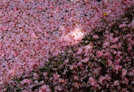 Yoshino-cherry-blossoms-980312-ga